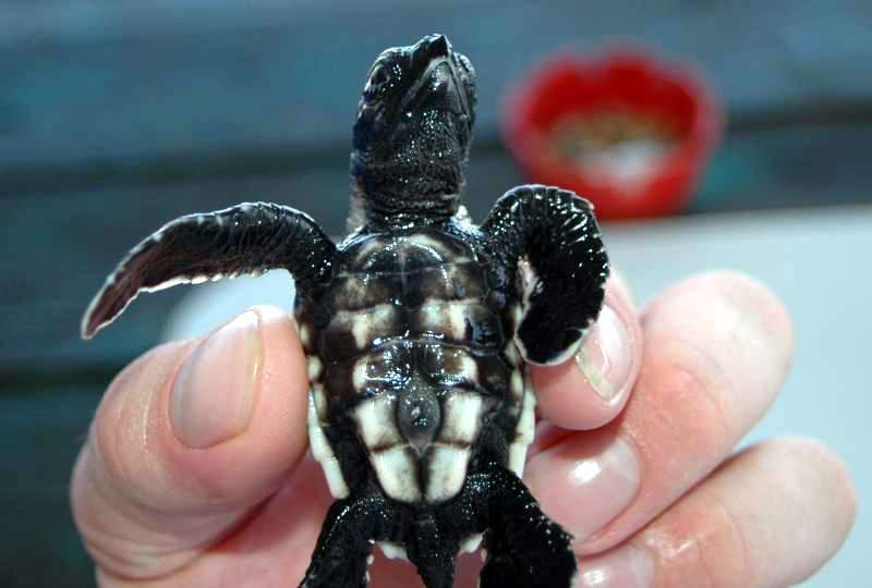 Baby_Turtle