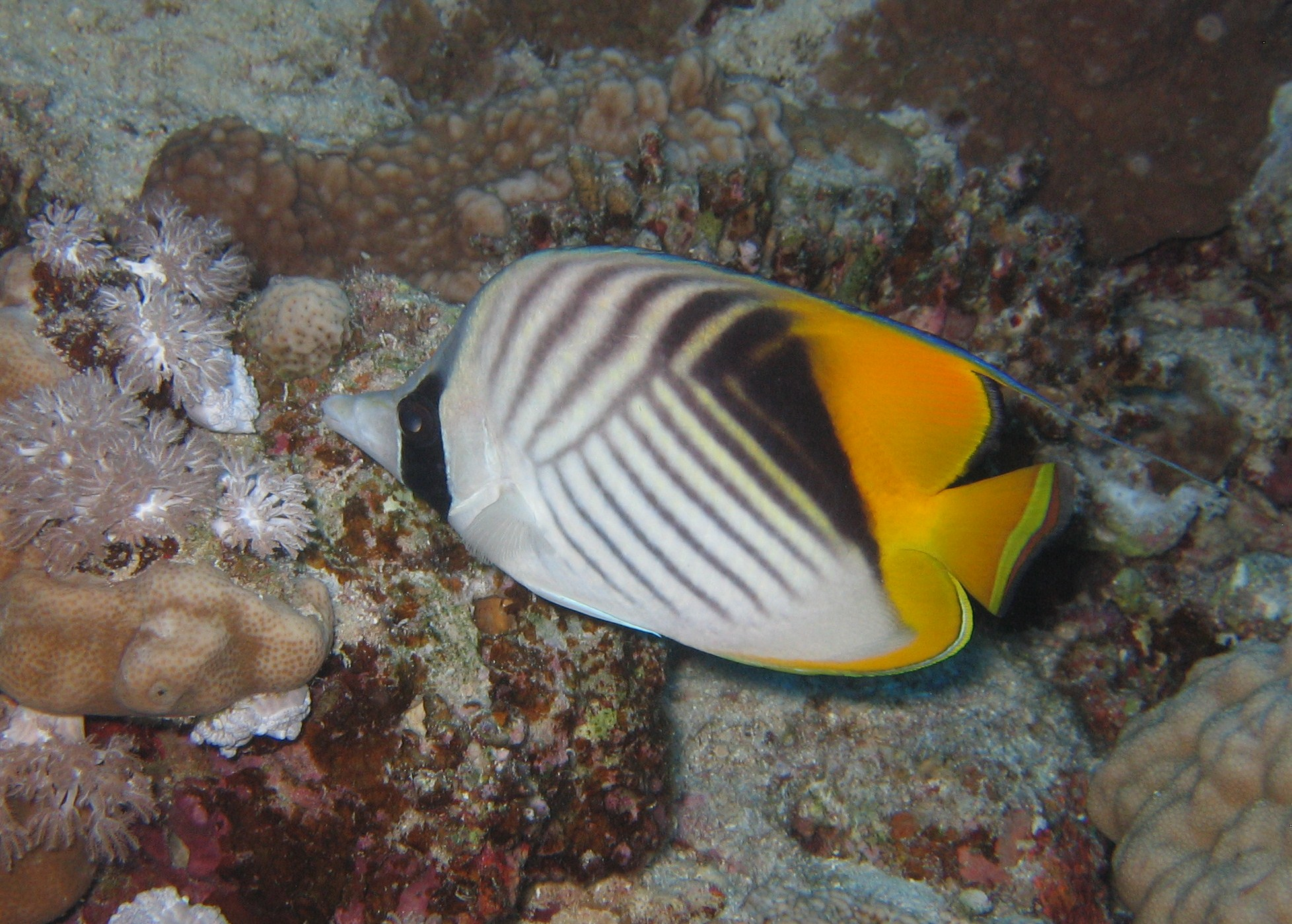 Butterfly_Fish_2