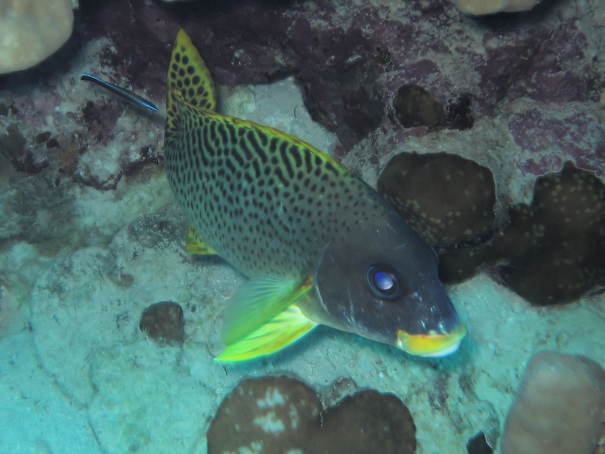 Coral_Grouper