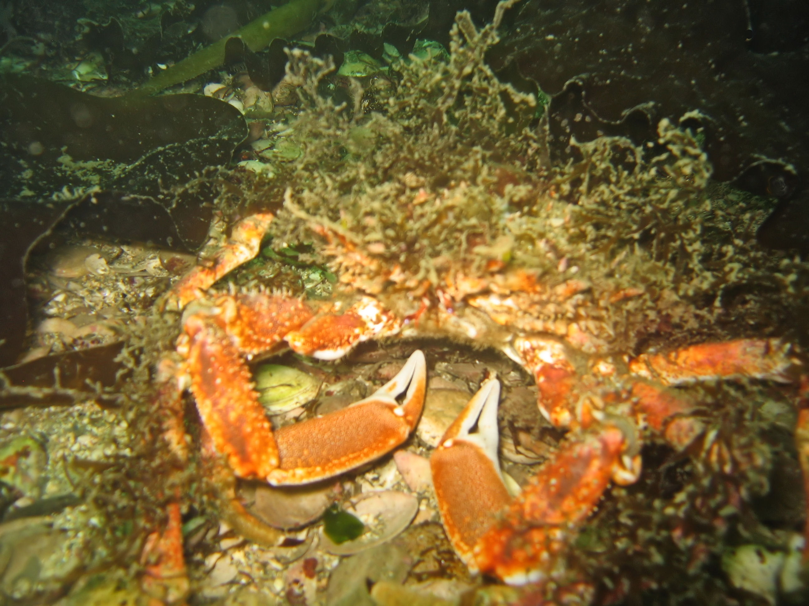 Sea_Toad_Great_Spider_Crab